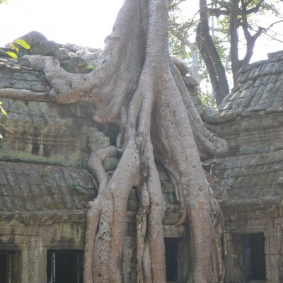 Tree roots climbing temple at Ta Prohm at temple of Angkor, Siem Reap Province, Campbodia
