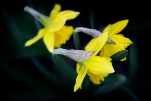 Close up of bright yellow daffodils